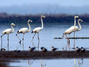 harike-wetland-bird-sanctuary-amritsar